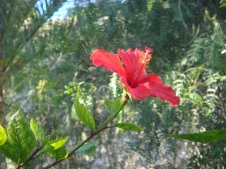 A Gibraltarean flower, red like its coat of arms